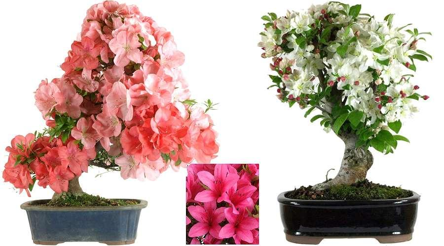 Flowering Bonsai Satsuki Azalea Bonsai and Ornamental apple tree