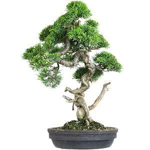 Wacholder Bonsai (Juniperus)