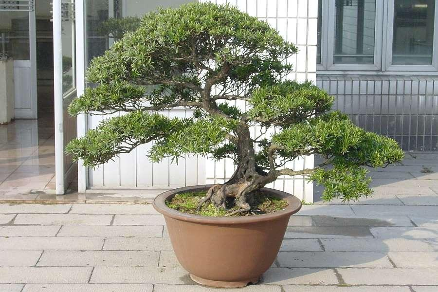 bonsai im garten bonsai im garten ein hauch von fernost bonsai baum garten neuesten design. Black Bedroom Furniture Sets. Home Design Ideas