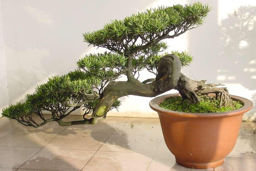 podocarpus bonsai bilder. Black Bedroom Furniture Sets. Home Design Ideas