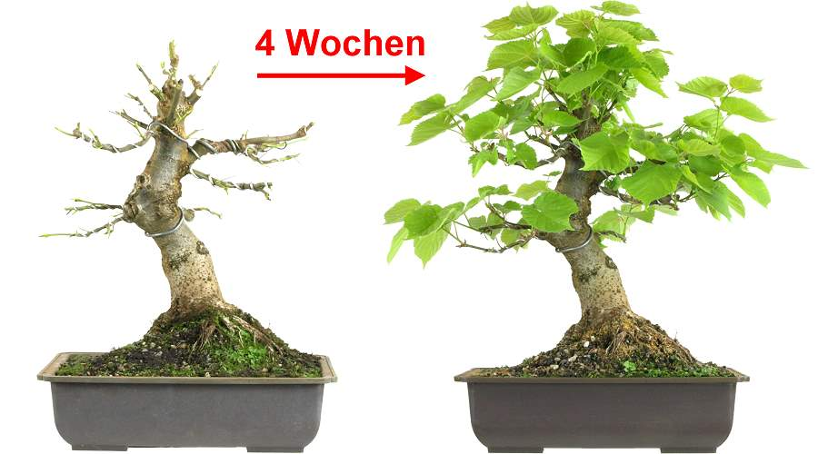 blattschnitt bei linden bonsai. Black Bedroom Furniture Sets. Home Design Ideas