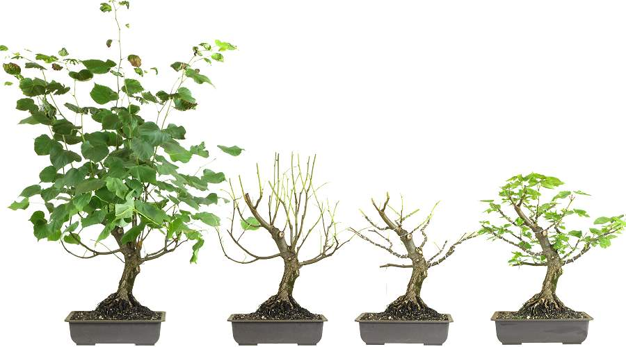 Bonsai Blattschnitt Winterlinde (Tilia cordata)