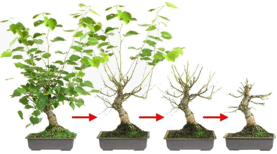 Bonsai Blattschnitt Winterlinde