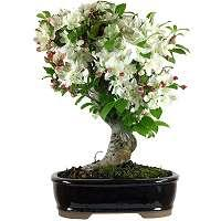 Bonsai apple tree Malus