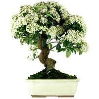 Bonsai Firethorn Pyracantha