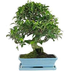 ficus bonsai pflege. Black Bedroom Furniture Sets. Home Design Ideas