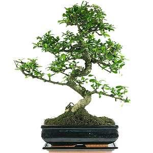 fukientee bonsai pflege. Black Bedroom Furniture Sets. Home Design Ideas