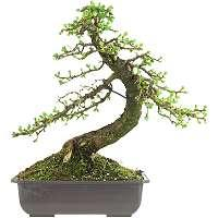 Prebonsai Larix - Larches