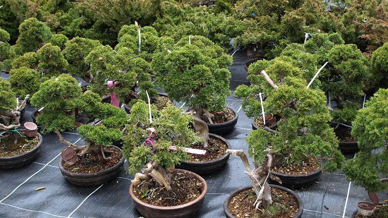 Bonsai Japan Import 2015 - Chinesischer Wacholder (Juniperus chinensis)