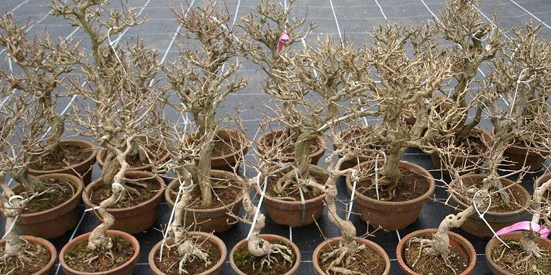 Bonsai Japan Import 2015 - Granatäpfel (Punica granatum)
